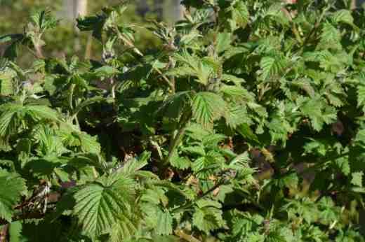 sylvanberry