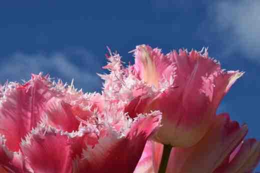 tulips queensland and huis ten bosch