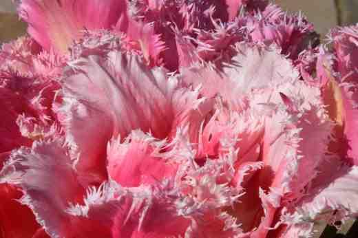 tulips queensland and huis ten bosch2
