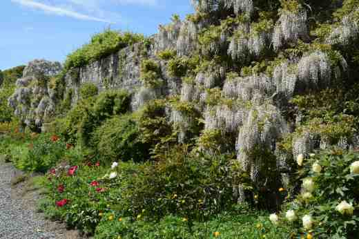 The walled garden was dripping with wisterias