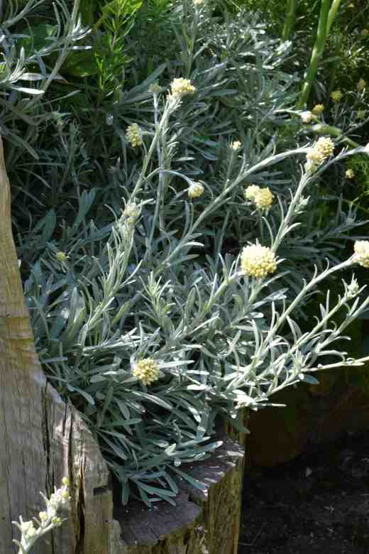 A silvery avalanche of helichrysum basks in the sun. I think this is H. 'White Barn'.