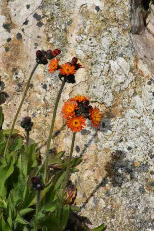 Lowly plants are welcome here. Although it can be a weed (well IS a weed) I love Hieraceum aurantiacum or fox-and-cubs and here it looks perfect against the orange-hued rocks