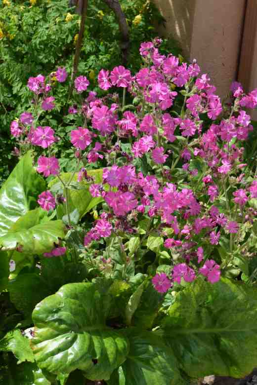 How inspired is this! A common silene tucked behind a bergenia gives the evergreen a second season of colour - even better than the first