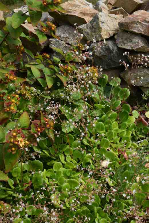 Happy neighbours - London's pride and hypericum