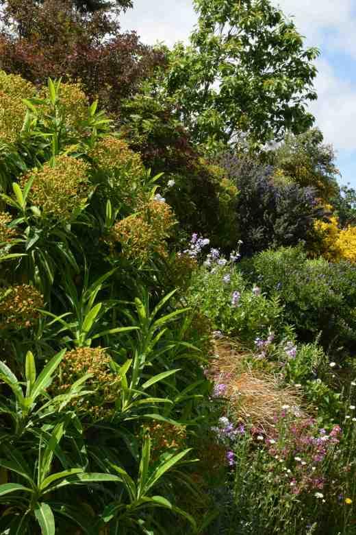 I shall miss Euphorbia mellifera when I return to the UK - it is ubiquitous in Ireland