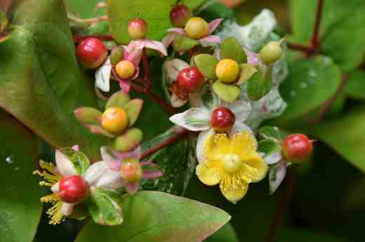 hypericum and glad brab
