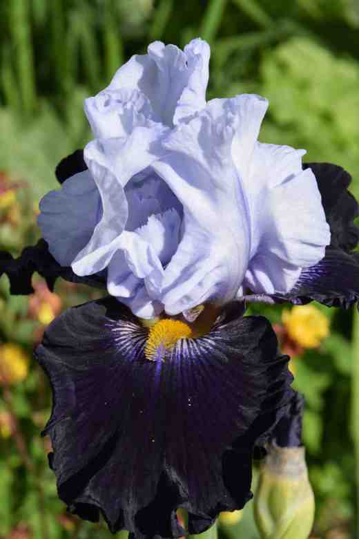 iris piste noir