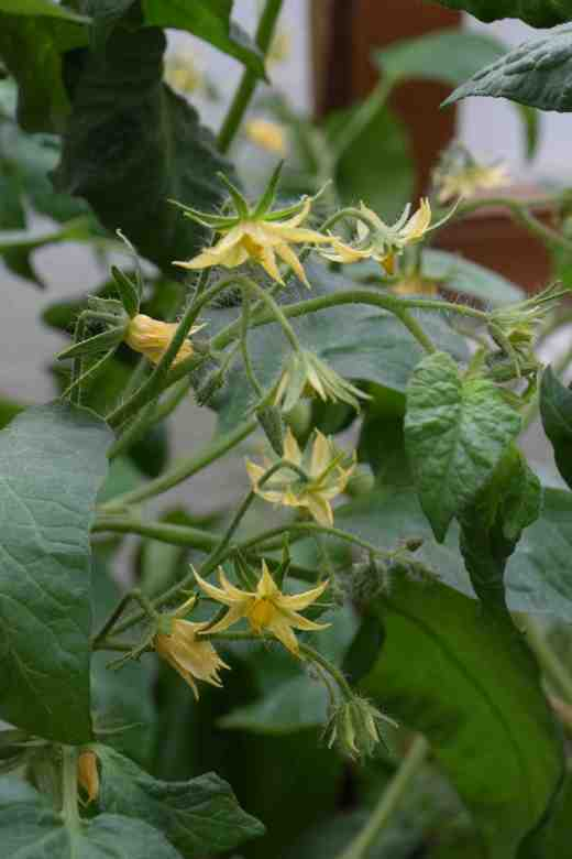 You can tell if a plant is going to have large fuits by the flowers. Instead of the usual starry flowers with five petals the flowers are almost double with lots of petals. Do not expect every flower in the truss to make a fruit. Usually only three to five flowers 'sets' but when the fruits weight 500g or more that is still a lot for the plants to support