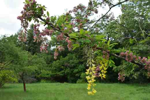 The laburnum sometimes breaks through