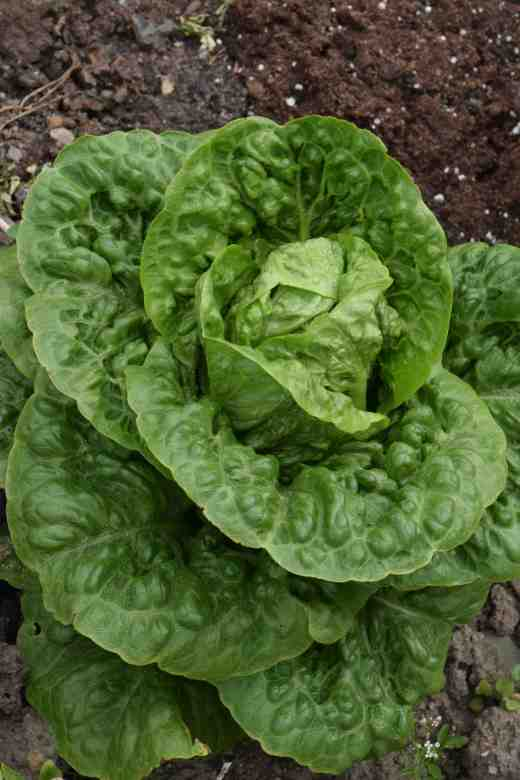 'Sweetheart' is my favourite lettuce. It is a small Cos type and is incredibly crunchy and tasty. It makes the perfect Caesar salad and each plant is enough for two people. It is resistant to disease and 'holds well' when mature too.