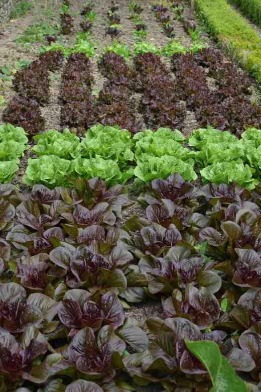The 'next' lot of lettuce, sown in April with 'Cimmaron' in the foreground. This bed is shaded by a large wall from 1pm each day but they are all doing fine
