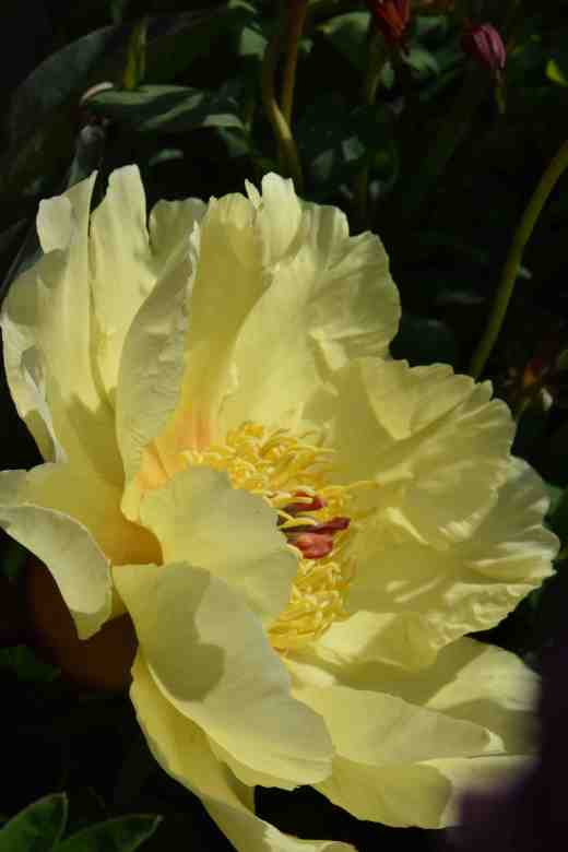 peony sequestered sun