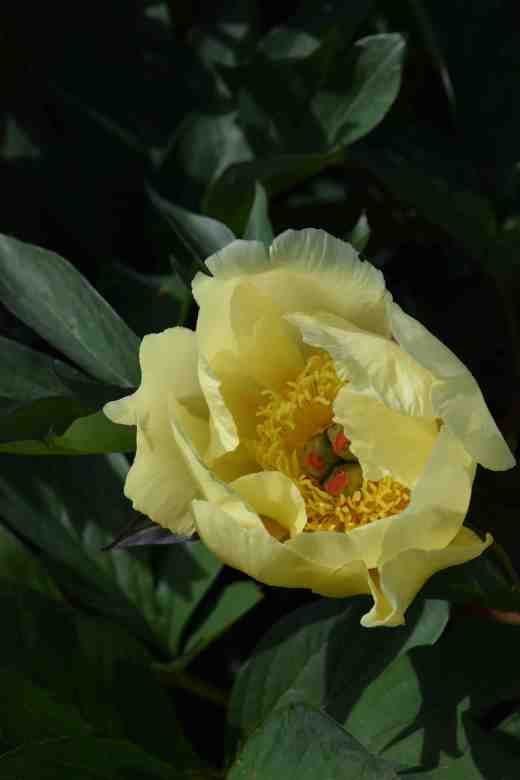 peony sequestered sun2