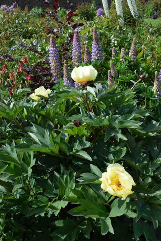 peony sequestered sun3