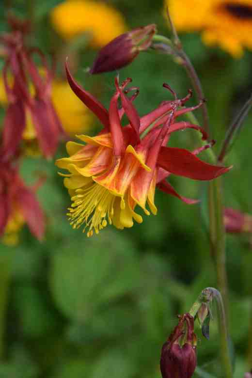 red aquilegias3