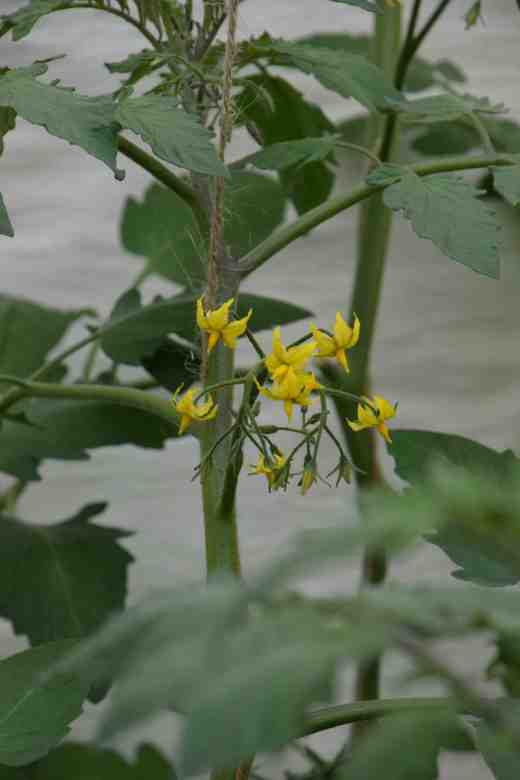 In contrast, a cherry tom like this 'Sungold' will have regular, starry flowers. Notice the more spindly growth that is typical of cherry toms.