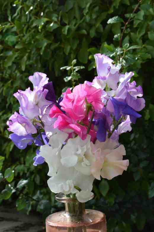 sweet peas june 15
