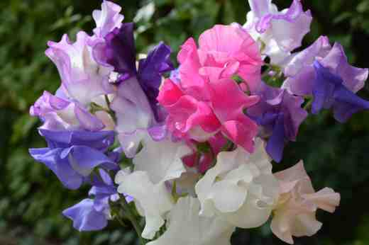 sweet peas june 152