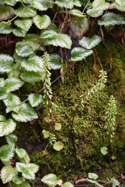 Navelwort, here with lamisatrum