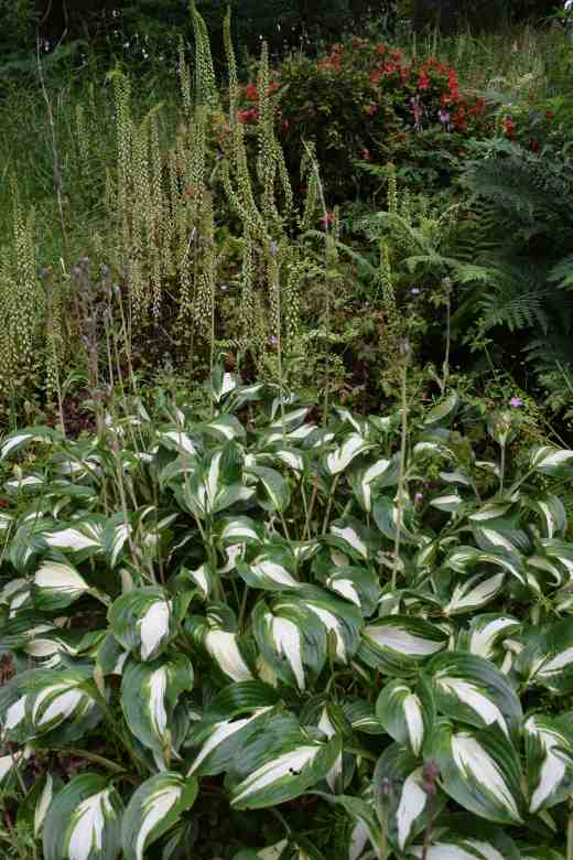 An unusual but effective combination with hostas