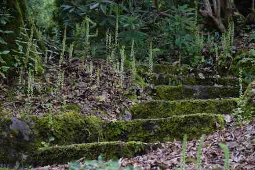Umbilicus rupestris8