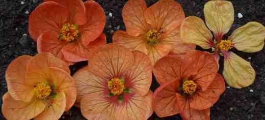 abutilon orange