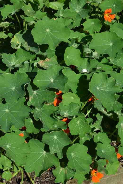 Spot the flower! Too often nasturtiums hide their blooms