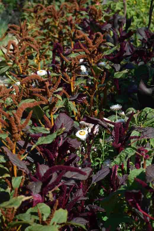 amaranthus aug2
