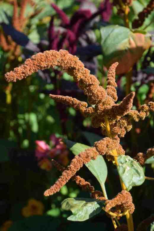 amaranthus aug3