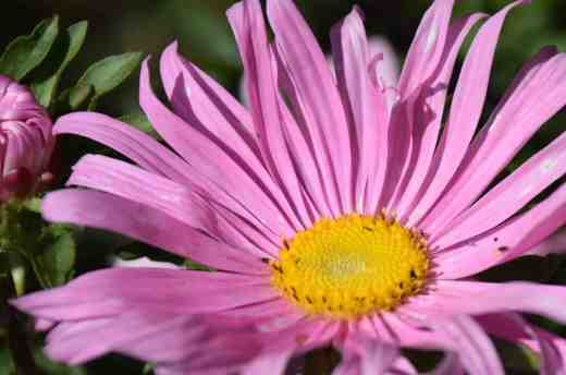 Single, 'Super chinensis' aster
