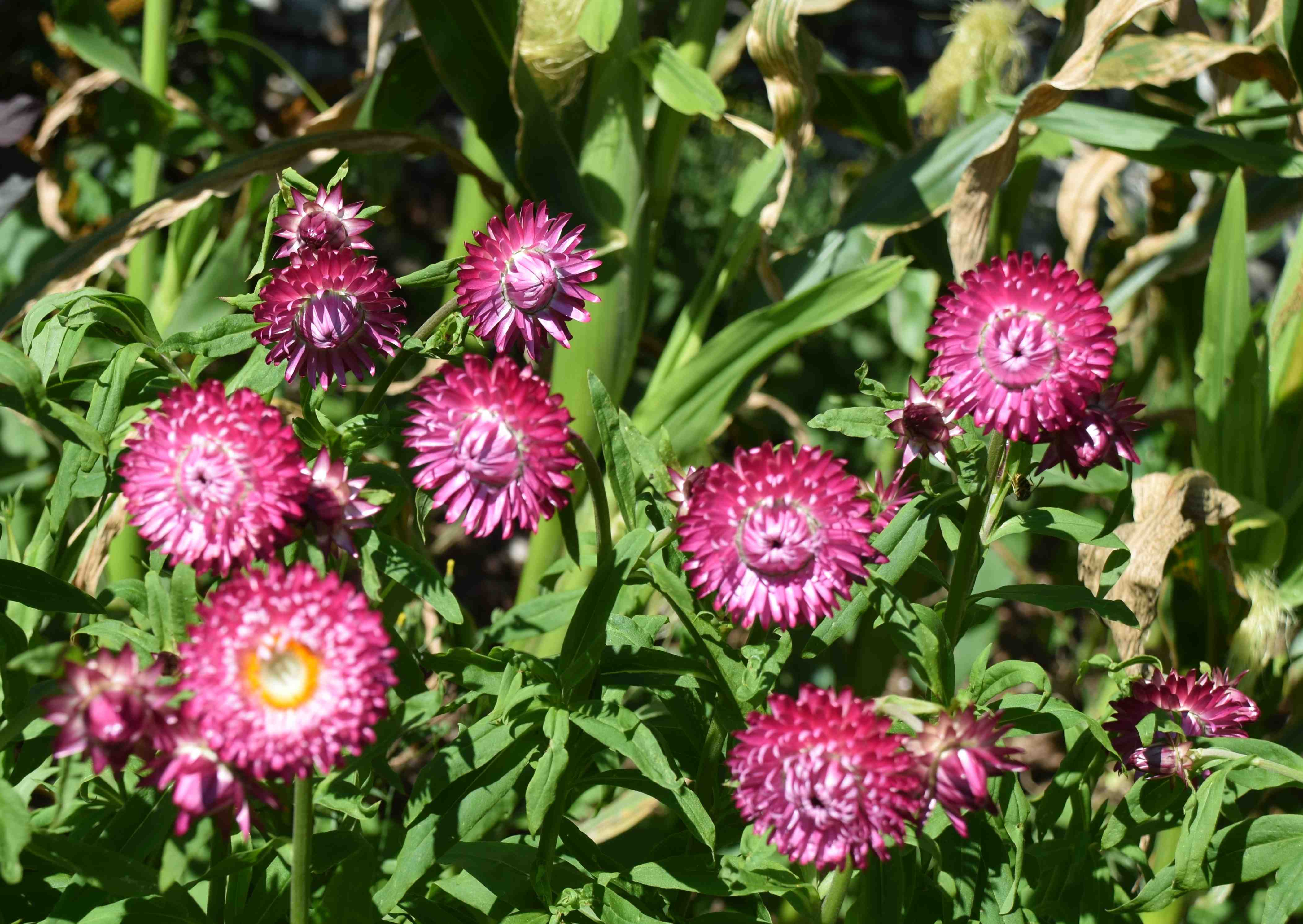 A strawflower by any other name the biking gardener i have the strawflowers dotted around the garden but most are planted at the front of the groups of sweetcorn to brighten up that part of the garden and mightylinksfo