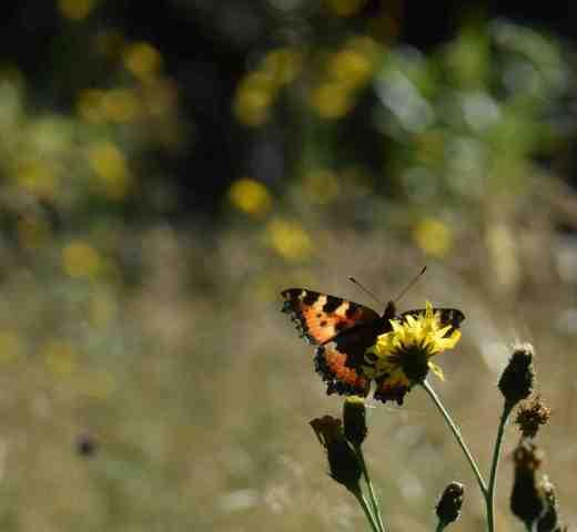 butterfly wild