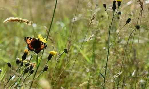 butterfly wild2