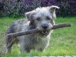 Glen_Of_Imaal_Terrier_Middle_Aged