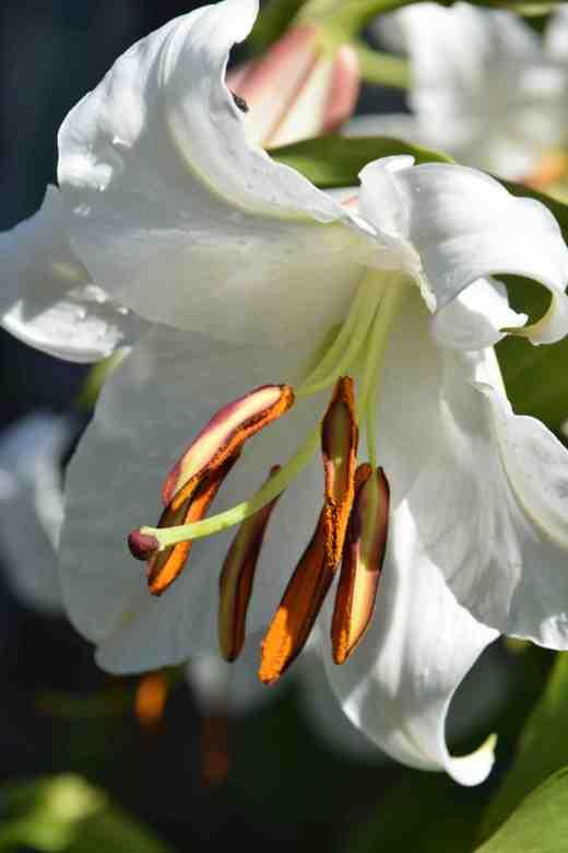 lily casablanca2