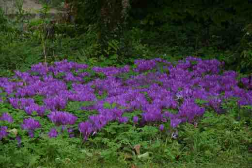 And you can forgive colchicums their thuggish foliage in spring when they look like this in late summer