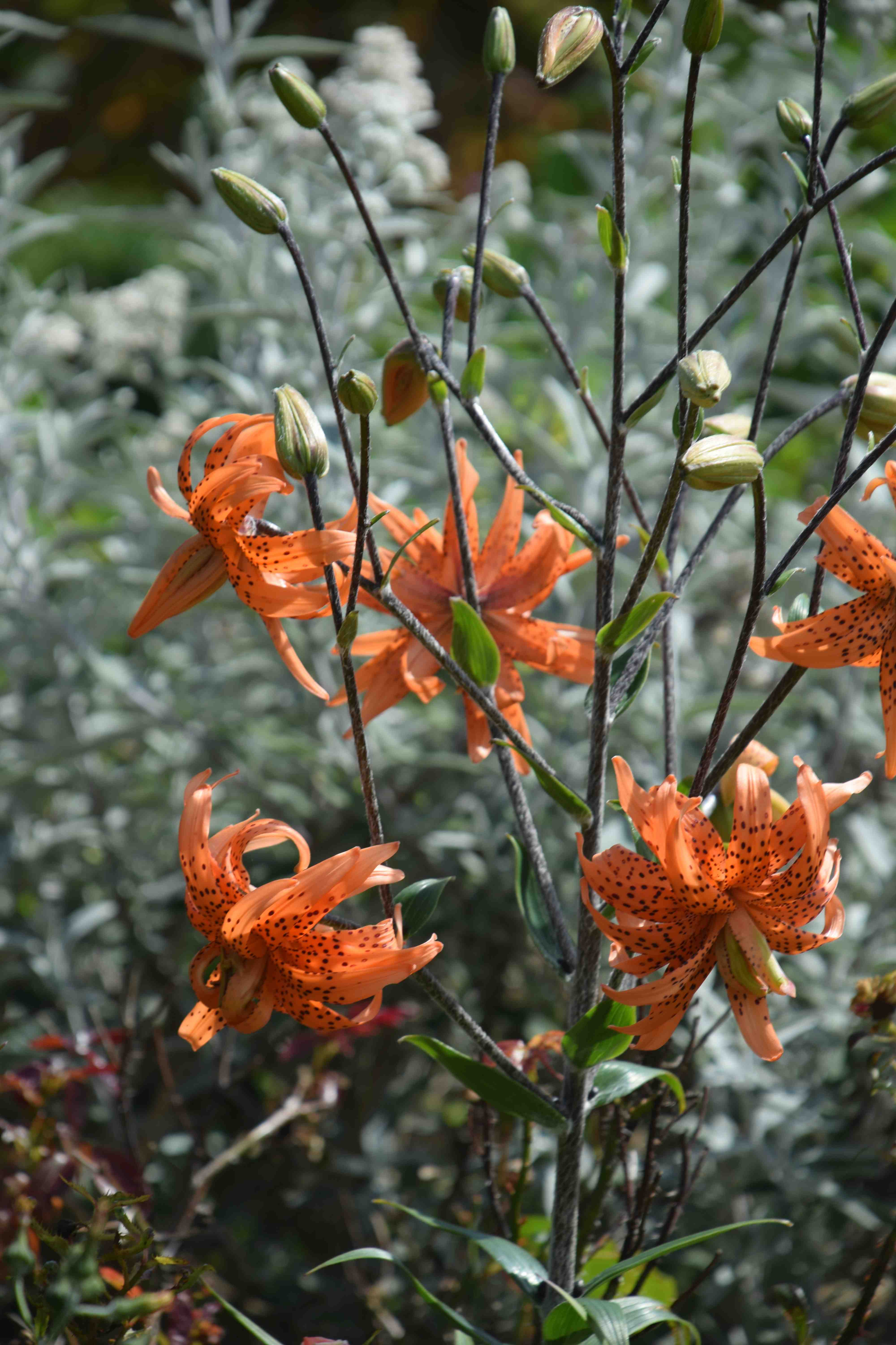 Lovely lily or a lousy liability the biking gardener tiger lilies 2 izmirmasajfo