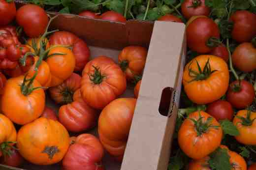 A box of orange toms including 'Janet's Jacinthe Jewel' (not a winner for taste), 'Nature's Riddle' (very beautiful) and the frankly weird 'Reisetomate'
