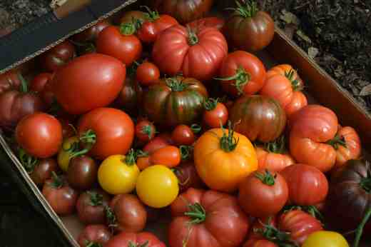 Another box of mixed toms showing some of the variety you can grow
