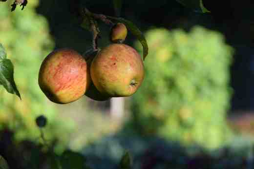 It is a race to get the apples in before the first frost but we should manage with the low-hanging fruit