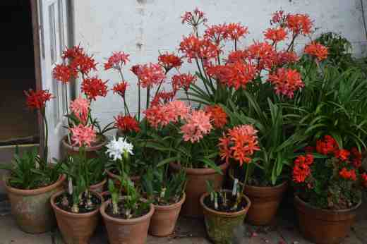 The nerines are brought out under a covered area when in bloom
