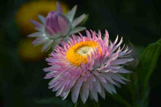 Helichrysum keep on sending up flowers though the plants are getting increasingly 'leggy' and scruffy