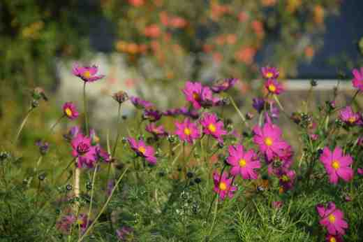 Cosmos keep the garden colourful too though some plants in the mixed batch have still not bloomed yet - very poor - more of that later