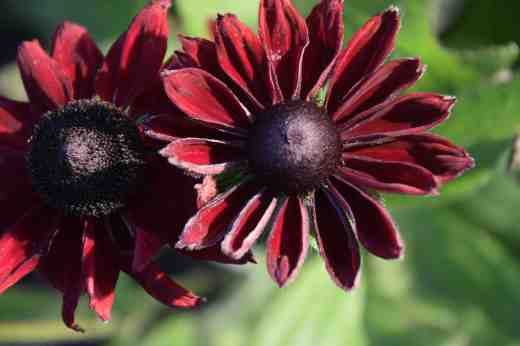 Rudbeckia 'Cherry Brandy' is not my favourite thing. The flowers are a deep red and a breeding breakthrough but the flowers are not always very well formed and it just looks a bit 'off' to me. But they have their uses and they are still going strong