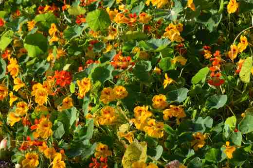I have been a bit rude about the nasturtiums this year but, hands up, I was unfair and they have been pretty spectacular - and still are