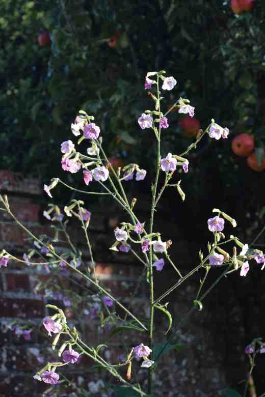 The Nicotiana mutabilis have been fantatsic this year. The flowers are small but there are zillions of them and they just keep on blooming. Some, like this one, must be almost 2m high