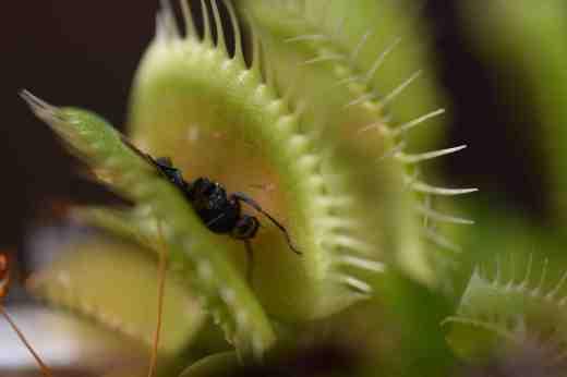 venus fly