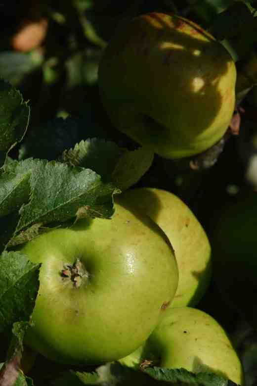 apple brampley