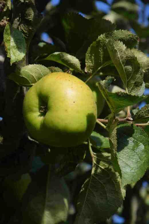 apple brampley3