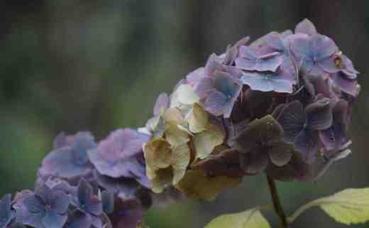 faded hydrangea